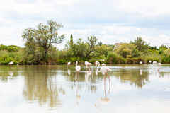 Wild flamingo birds in the lake in France, Camargue, Provence Stock Photography