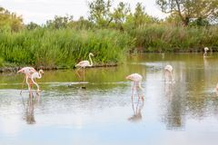 Wild flamingo birds in the lake in France, Camargue, Provence Stock Image