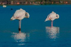 Wild flamingo in a conservation area stock images