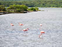 Wild Flamingos Royalty Free Stock Photography
