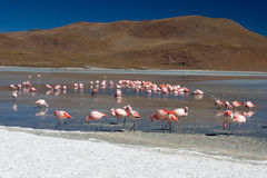 Wild flamingos in Bolivia. Wild flamingos feeding on Salar de Uyuni in Bolivia Stock Image