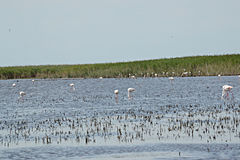 Wild Flamingos in the Camargue Stock Photography