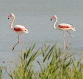 Wild flamingos in Camargue Royalty Free Stock Image