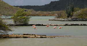 Wild Flamingos in Curacao 2. A small flock of wild Caribbean Flamingos search for food in large, shallow salt pond in Curacao royalty free stock photos