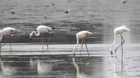 A wild flamingos drinking. A nature and wildlife scene stock footage