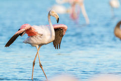 Wild flamingos in france Stock Images