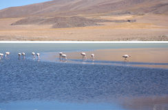 Wild flamingos in the lagoon of Bolivian Andes Royalty Free Stock Photography