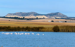 Wild flamingos in the lagoon Petrola Royalty Free Stock Photography