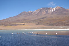 Wild flamingos in the lagoon of Salar de Uyuni Royalty Free Stock Photo