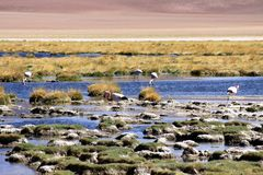 Wild flamingos at lake with stony lakeside and dry grass and blurred desert in the background - Atacama desert, Chile royalty free stock photo