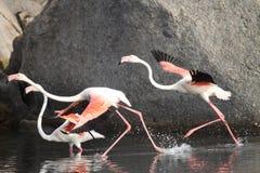 Wild Flamingos Royalty Free Stock Photos
