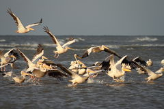 Wild flock of great pelicans taking flight Stock Image