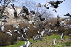 Wild Flock start pigeons flaying at park. Flock start pigeons flaying at park in town Royalty Free Stock Photo