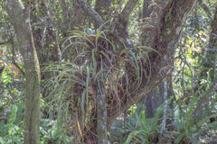 Wild Florida Air Plant Bromeliad Royalty Free Stock Images