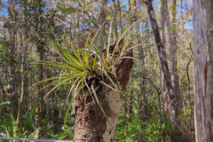 Free Wild Florida Bromeliad Stock Photography - 46962702