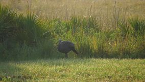 Wild Florida Turkey Walks Along Field, 4K stock footage
