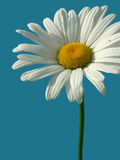 Wild flower. Camomile over the blue sky stock image