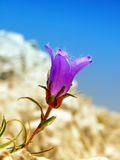 Wild flower. Violet wild flower on the calcareous rocky slope Royalty Free Stock Photos