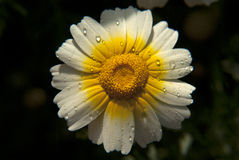Wild  flower. Wild flower on my garden Stock Images