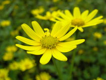 Wild flower. A wild flower in Matheran Royalty Free Stock Images