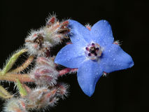 Wild flower. Wild blue flower Royalty Free Stock Image