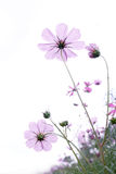 Wild flower. On white background, shallow depth of field Stock Photos