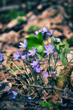 Wild flower Anemone hepatica in spring forest. Stock Photo