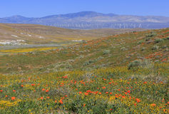Wild flower at Antelope Valley Stock Photography