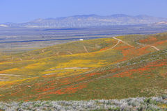 Wild flower at Antelope Valley Royalty Free Stock Photography