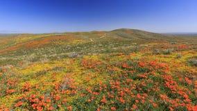 Wild flower at Antelope Valley Stock Image