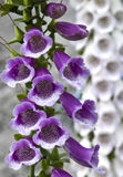 Wild flower. Beautiful wild purple and white flowers Stock Photography