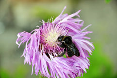 Wild flower and bee Stock Photography