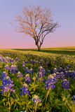 Wild flower Bluebonnet in Texas Royalty Free Stock Photography