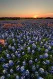 Wild flower Bluebonnet in Texas Stock Image
