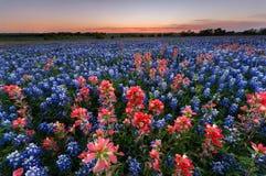 Wild flower Bluebonnet in Texas Royalty Free Stock Photo