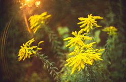 Wild flower and bokeh Royalty Free Stock Photography