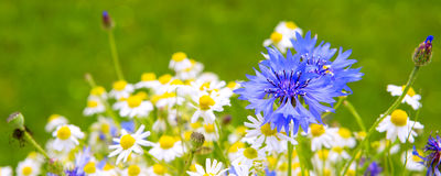 Wild flower bouquet . Wild flower bouquet with daisies and cornflowers. Wild flowers isolated on green background Royalty Free Stock Photography