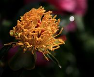 Wild flower. The bright and colorful flowers home Royalty Free Stock Photo