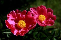 Wild flower. The bright and colorful flowers home Stock Image