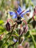 Wild Flower and bumblebee collecting polen, Banos de Montemayor, Stock Photography