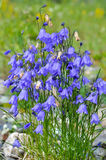 Wild flower - Canterbury bells (campanula). Stock Photos