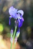 Wild flower. A Wild Flower captured on nature Royalty Free Stock Photos