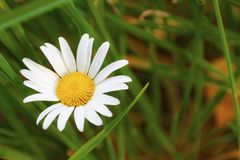 Wild flower daisy in natural conditions. Close-up.  royalty free stock photo