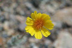 Wild Flower in Death Valley National Park in Spring stock photography