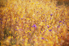 Wild flower field Royalty Free Stock Images