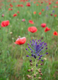 Wild flower in a field of poppies Royalty Free Stock Images