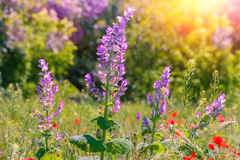 Wild flower Royalty Free Stock Photography