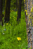 Wild Flower Forest. Forest full of purple and yellow wildflowers including blue lupine. Bright green moss is growing on the dark tree bark in this wild flower Stock Photos