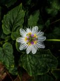 Wild Flower found in forest royalty free stock photo