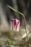Wild flower, Fritillaria meleagris. Wild flower, chess flower, frog-cup. Fritillaria meleagris Stock Photo